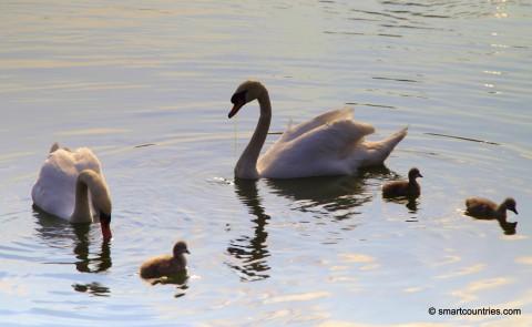 Serpentine Swans