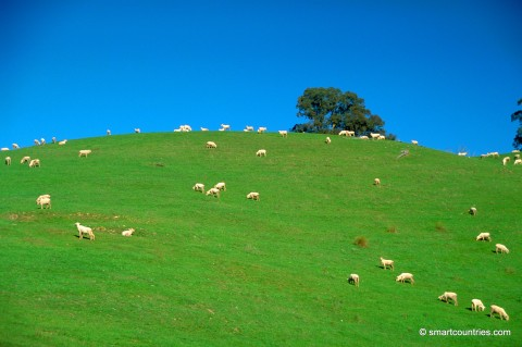 Sheep in NSW