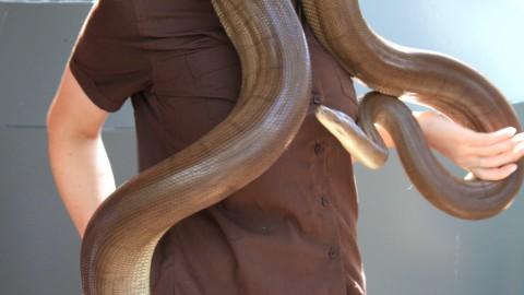 Olive Python at Hamilton Island Wildlife Park