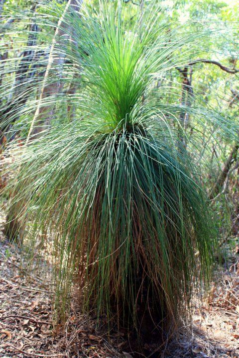Grass Tree Australia
