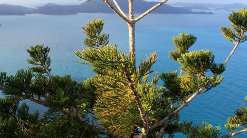 Moreton Bay Pine