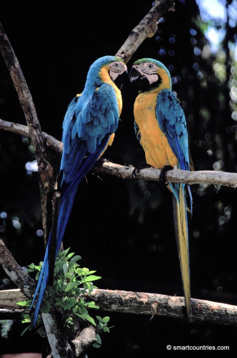 Blue and Gold Macaws Ecuador