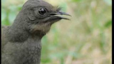 Lyre Bird Video