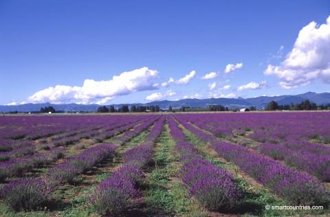 Lavender Field Coromandel
