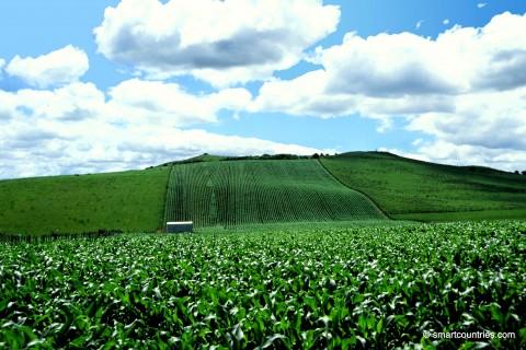 Corn Field New Zealand