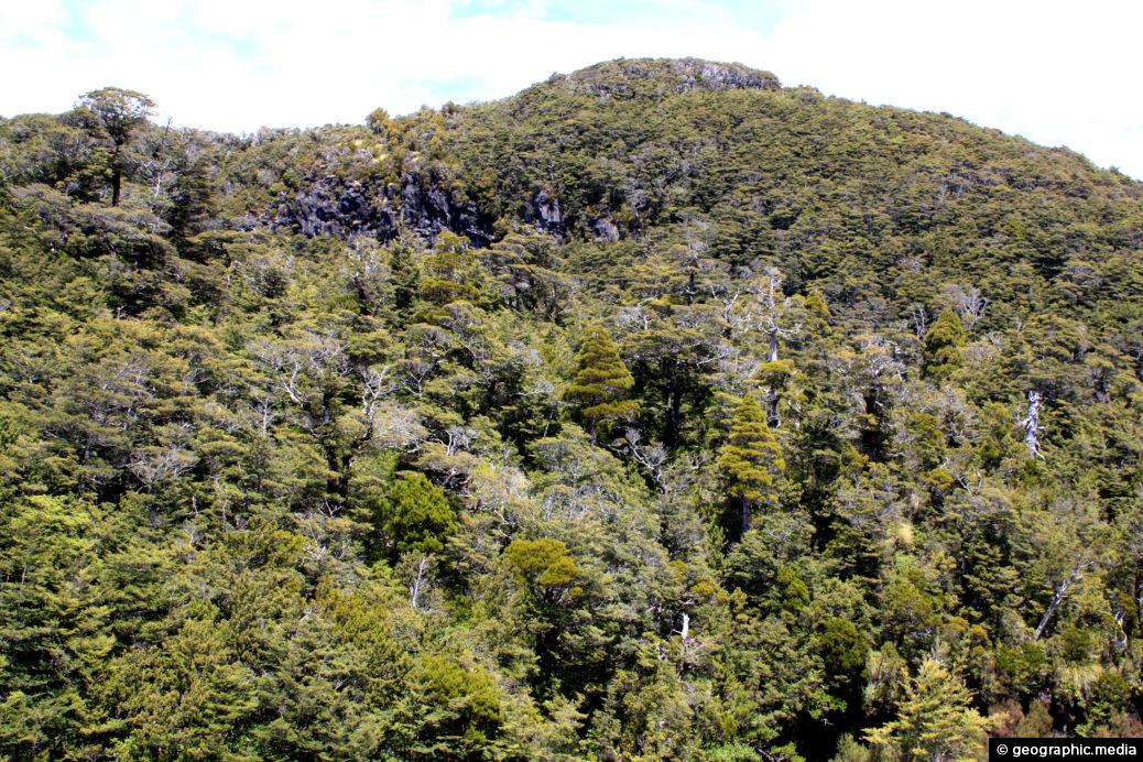 Beech Forest Mount Ruapehu