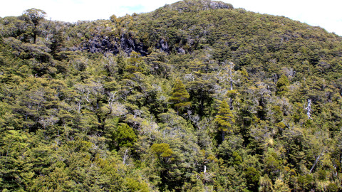 Beech Forest on Mount Ruapehu